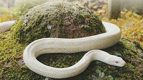 White_snakes__r_2